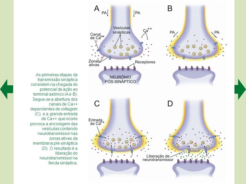 As primeiras etapas da transmissão sináptica consistem na chegada do potencial de ação ao terminal axônico (A e B).
