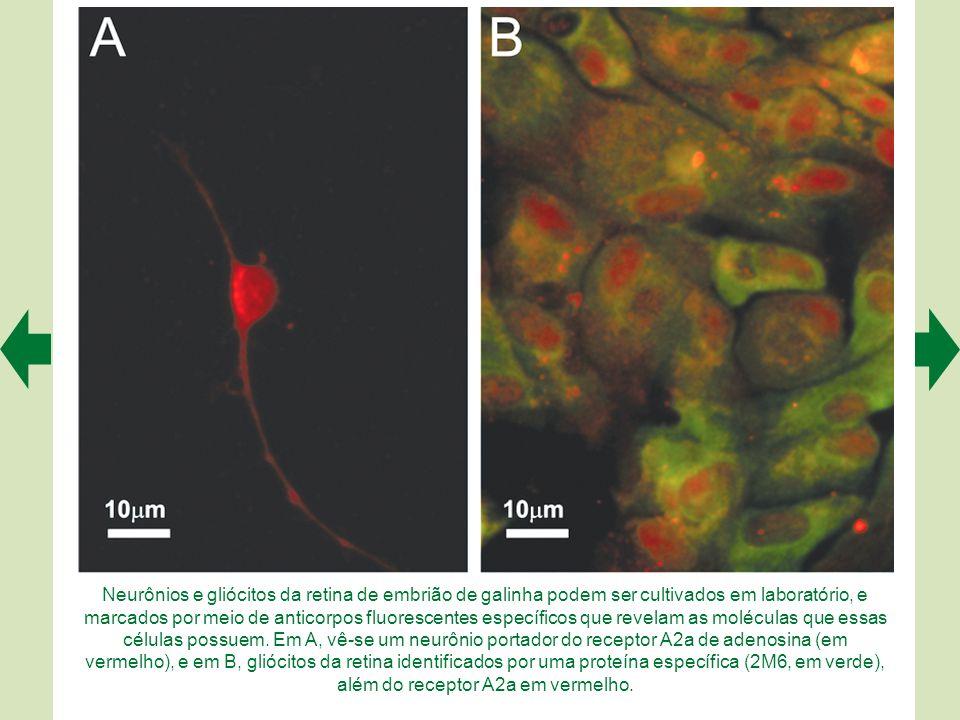 Neurônios e gliócitos da retina de embrião de galinha podem ser cultivados em laboratório, e marcados por meio de anticorpos fluorescentes específicos que revelam as moléculas que essas células possuem.