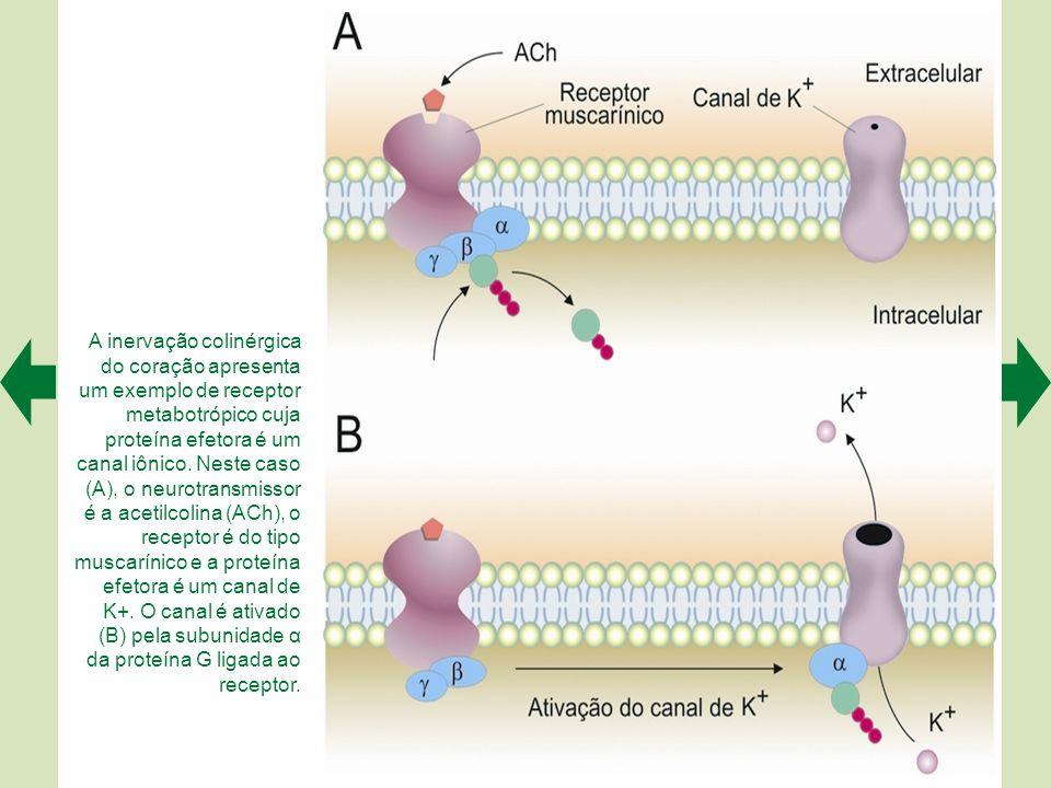 A inervação colinérgica do coração apresenta um exemplo de receptor