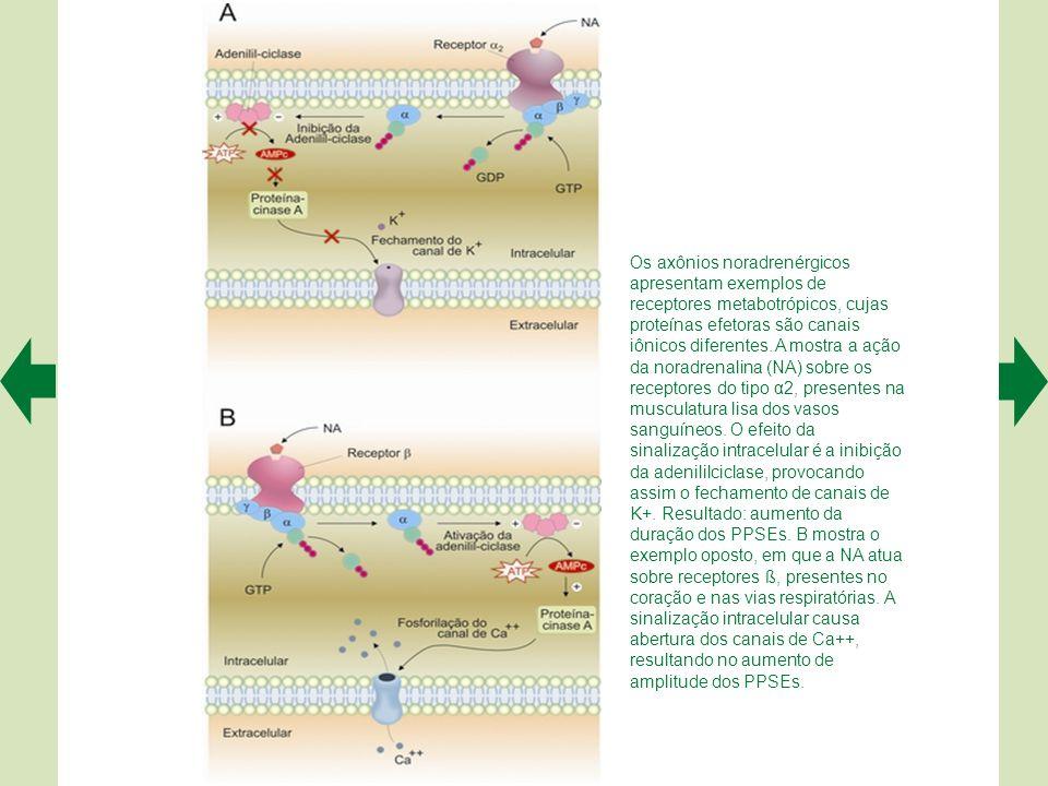 Os axônios noradrenérgicos apresentam exemplos de receptores metabotrópicos, cujas proteínas efetoras são canais iônicos diferentes.