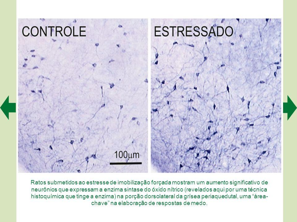 Ratos submetidos ao estresse de imobilização forçada mostram um aumento significativo de neurônios que expressam a enzima sintase do óxido nítrico (revelados aqui por uma técnica histoquímica que tinge a enzima) na porção dorsolateral da grísea periaquedutal, uma área-chave na elaboração de respostas de medo.