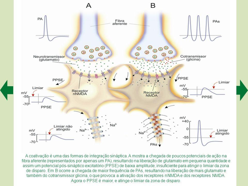 A coativação é uma das formas de integração sináptica