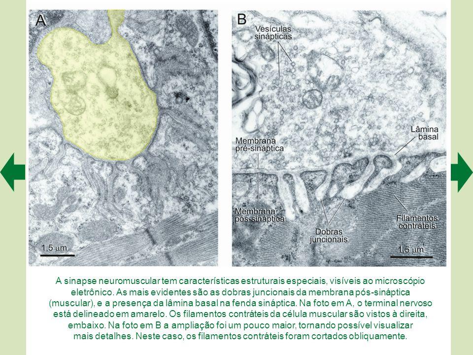 A sinapse neuromuscular tem características estruturais especiais, visíveis ao microscópio eletrônico. As mais evidentes são as dobras juncionais da membrana pós-sináptica (muscular), e a presença da lâmina basal na fenda sináptica. Na foto em A, o terminal nervoso está delineado em amarelo. Os filamentos contráteis da célula muscular são vistos à direita, embaixo. Na foto em B a ampliação foi um pouco maior, tornando possível visualizar