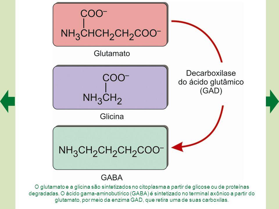 O glutamato e a glicina são sintetizados no citoplasma a partir de glicose ou de proteínas degradadas.