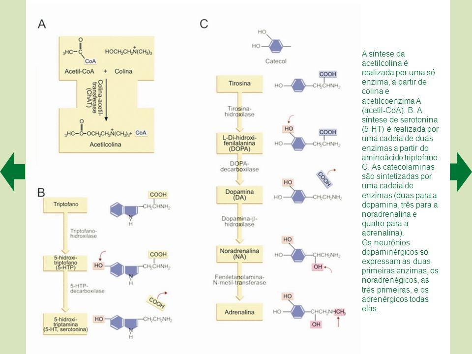 A síntese da acetilcolina é realizada por uma só enzima, a partir de colina e acetilcoenzima A (acetil-CoA). B. A síntese de serotonina (5-HT) é realizada por uma cadeia de duas enzimas a partir do aminoácido triptofano. C. As catecolaminas são sintetizadas por uma cadeia de enzimas (duas para a dopamina, três para a noradrenalina e quatro para a adrenalina).
