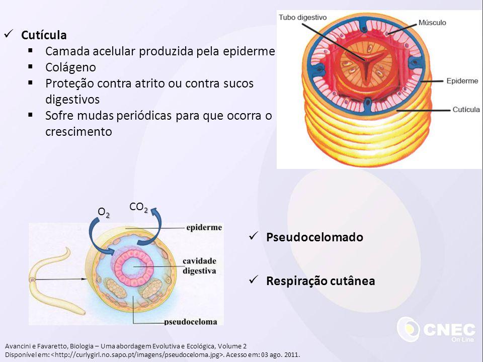 Camada acelular produzida pela epiderme Colágeno