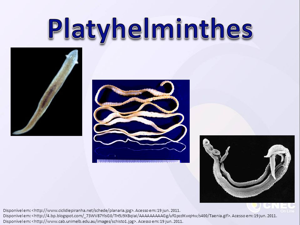 Platyhelminthes Disponível em: <http://www.ciclidiepiranha.net/schede/planaria.jpg>. Acesso em: 19 jun. 2011.