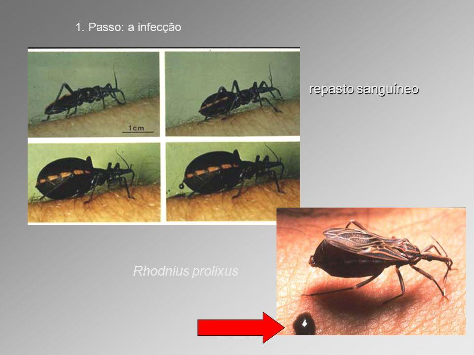 1. Passo: a infecção repasto sanguíneo Rhodnius prolixus