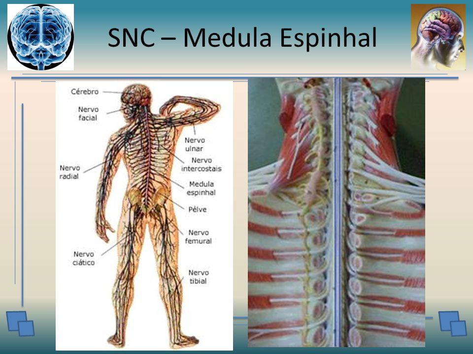 SNC – Medula Espinhal