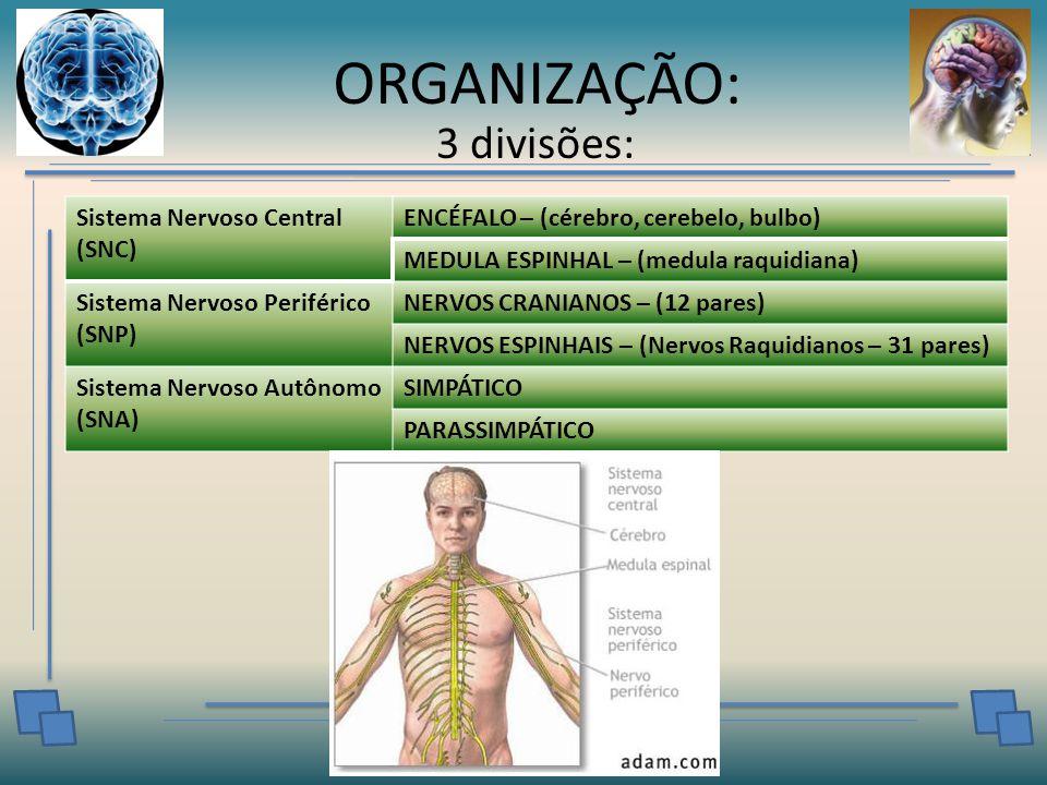 ORGANIZAÇÃO: 3 divisões: Sistema Nervoso Central (SNC)