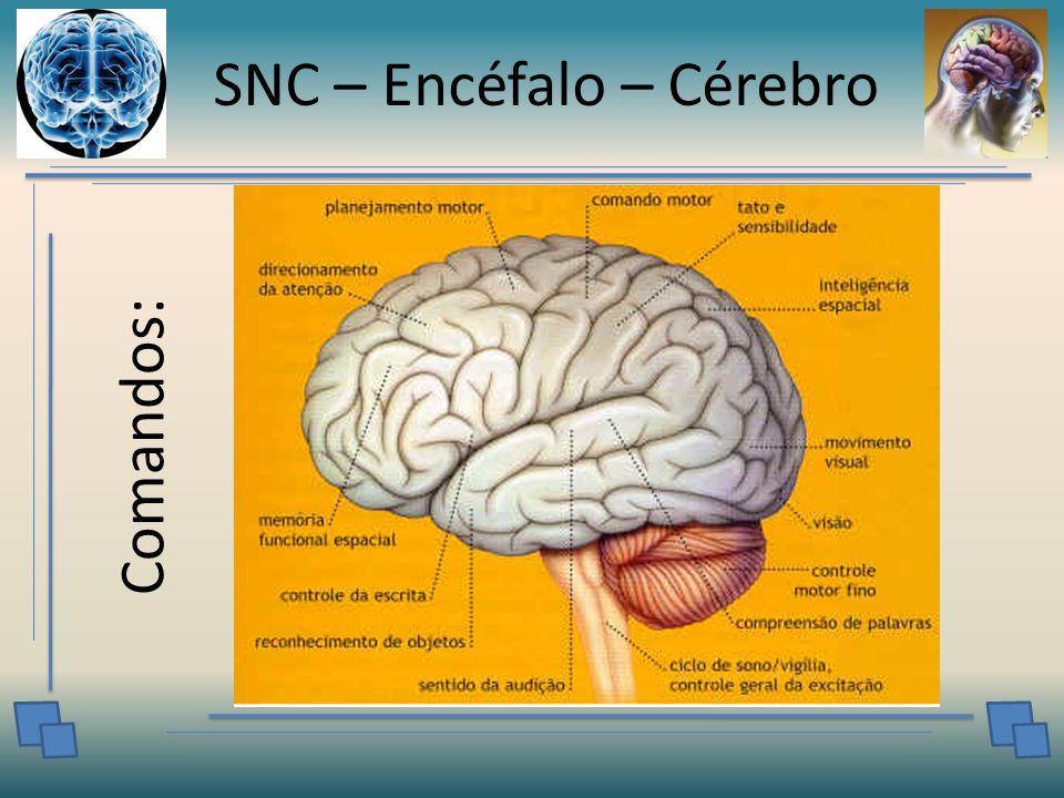 SNC – Encéfalo – Cérebro