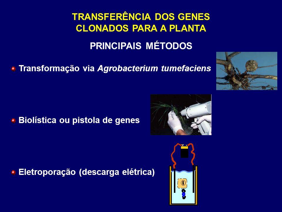 TRANSFERÊNCIA DOS GENES CLONADOS PARA A PLANTA
