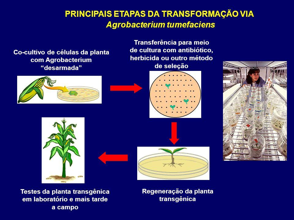 PRINCIPAIS ETAPAS DA TRANSFORMAÇÃO VIA Agrobacterium tumefaciens