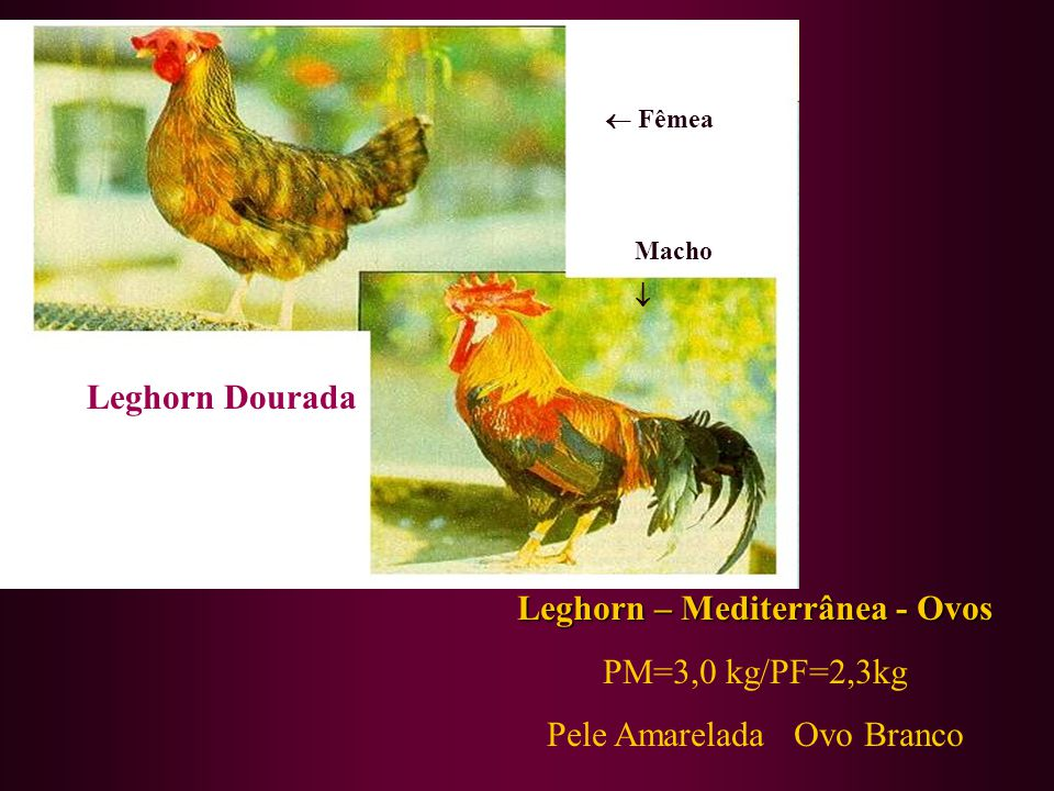 Leghorn – Mediterrânea - Ovos