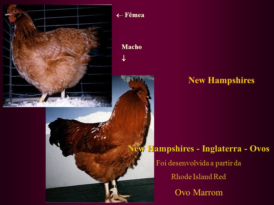 New Hampshires - Inglaterra - Ovos