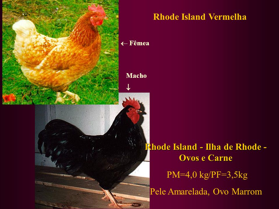 Rhode Island - Ilha de Rhode - Ovos e Carne