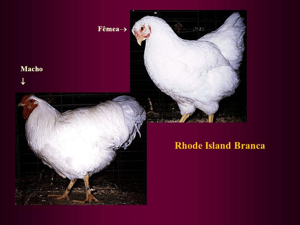 Fêmea Macho  Rhode Island Branca
