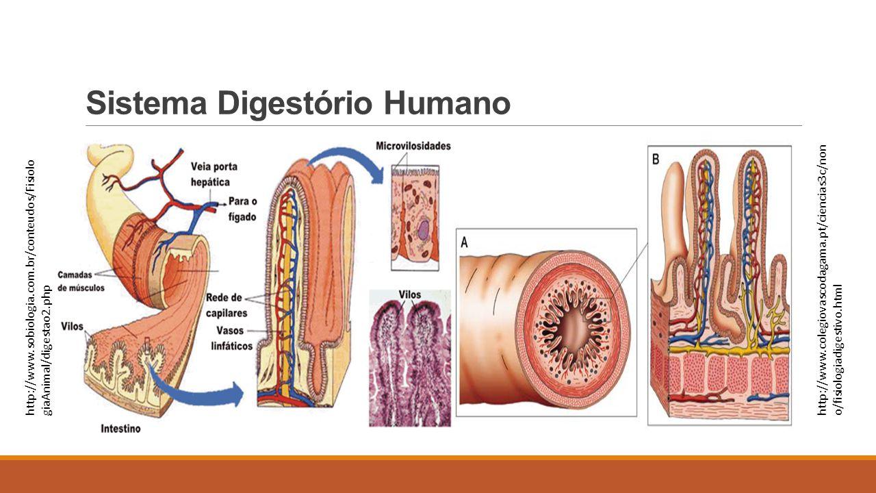 Sistema Digestório Humano