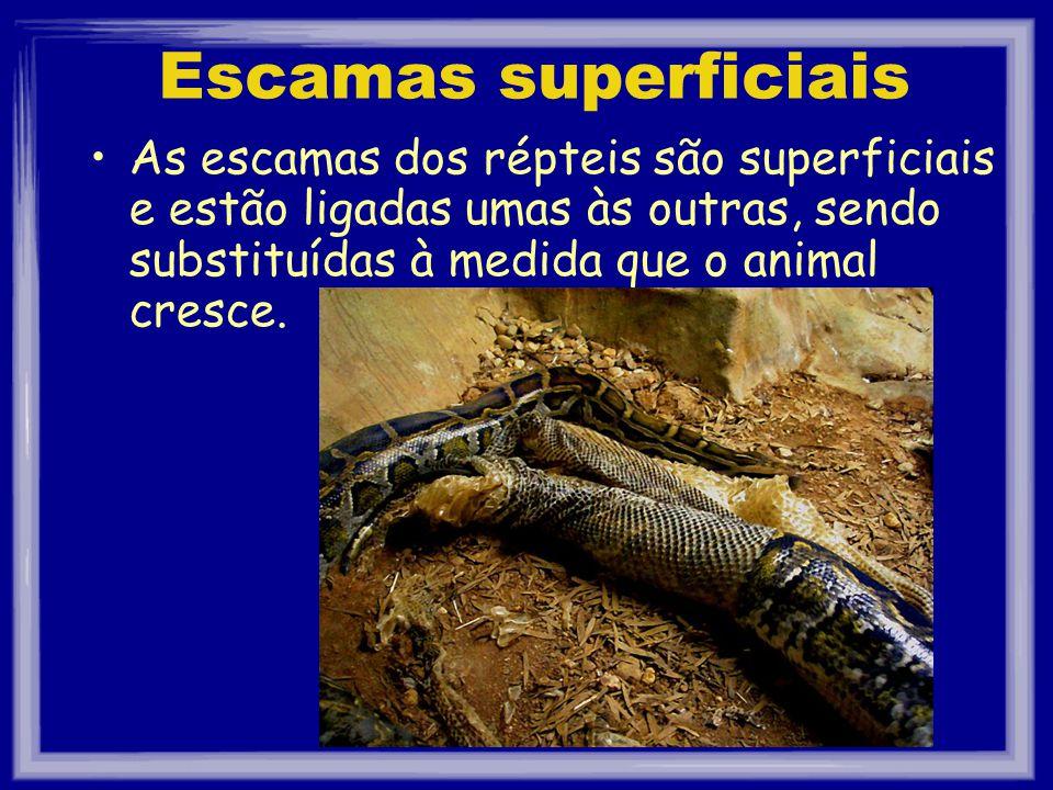 Escamas superficiais As escamas dos répteis são superficiais e estão ligadas umas às outras, sendo substituídas à medida que o animal cresce.