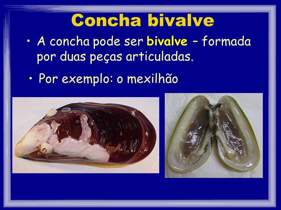 Concha bivalve A concha pode ser bivalve – formada por duas peças articuladas.