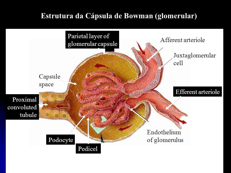 Estrutura da Cápsula de Bowman (glomerular)