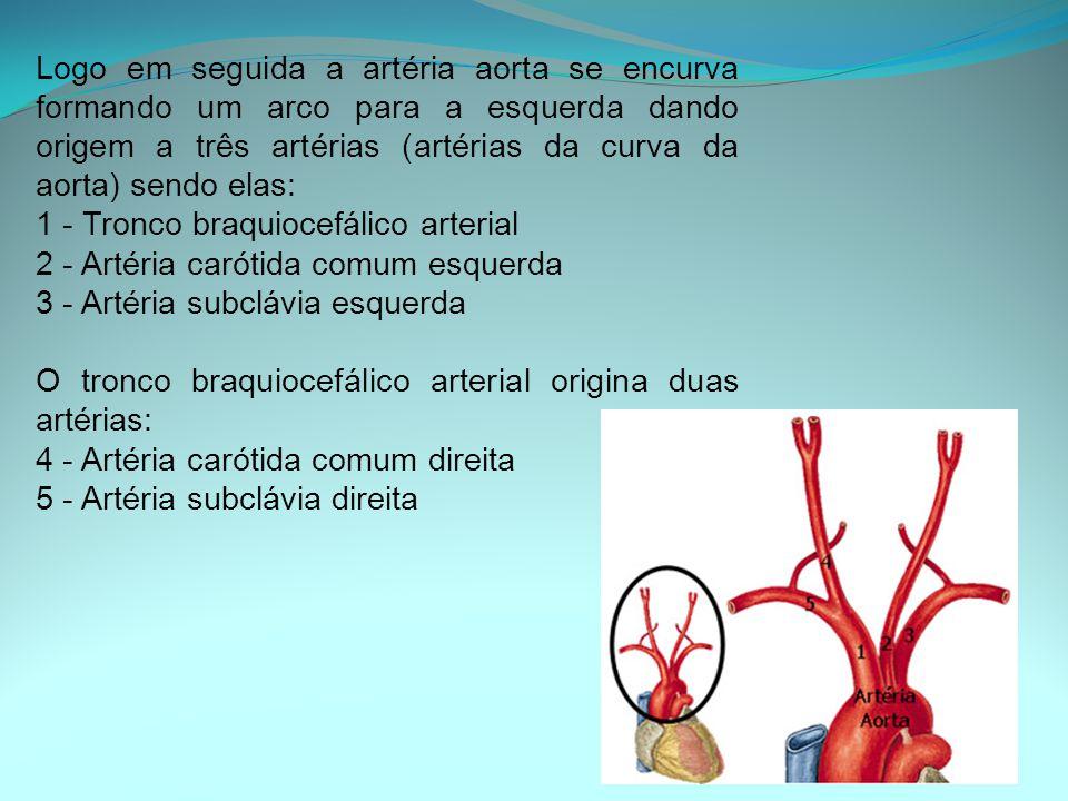 Logo em seguida a artéria aorta se encurva formando um arco para a esquerda dando origem a três artérias (artérias da curva da aorta) sendo elas: