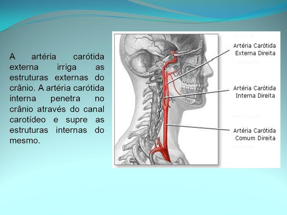 A artéria carótida externa irriga as estruturas externas do crânio