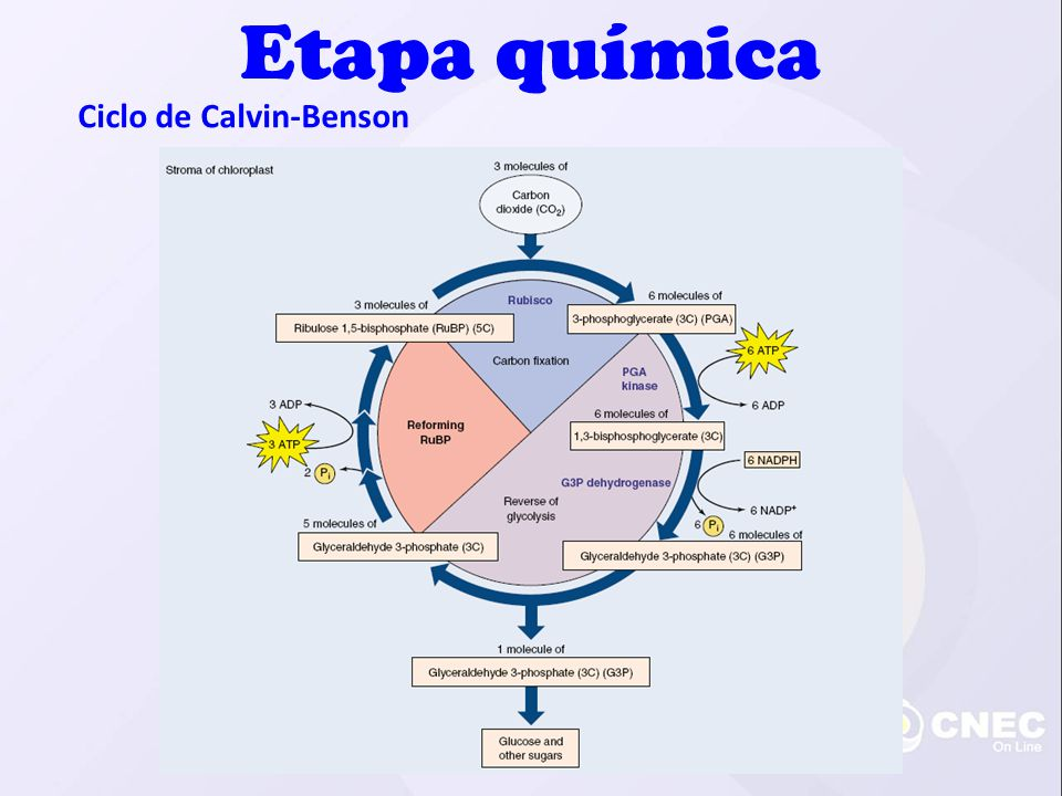 Etapa química Ciclo de Calvin-Benson