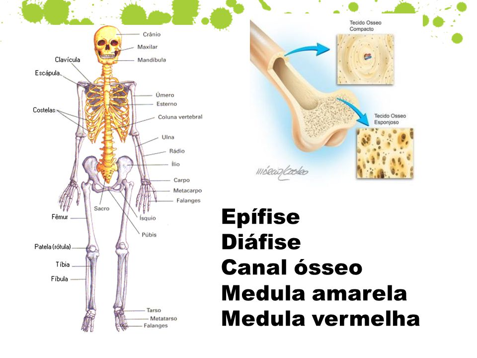 Epífise Diáfise Canal ósseo Medula amarela Medula vermelha