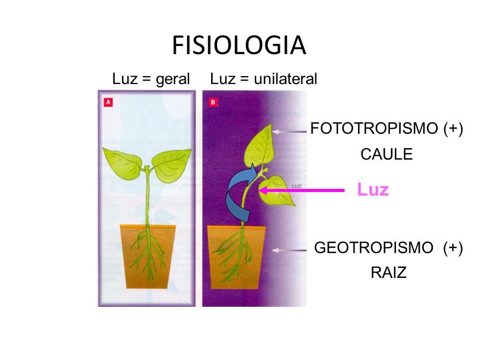 FISIOLOGIA Luz Luz = geral Luz = unilateral FOTOTROPISMO (+) CAULE