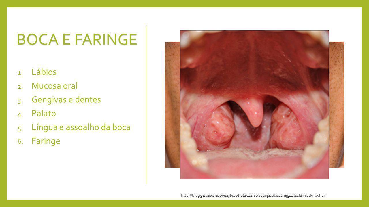 BOCA E FARINGE Lábios Mucosa oral Gengivas e dentes Palato