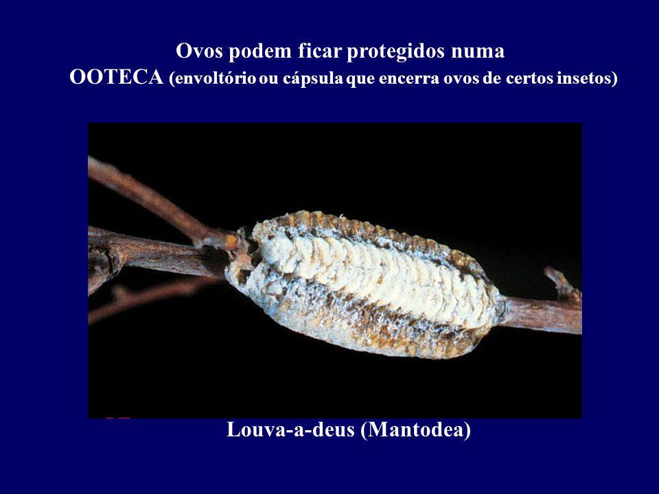 Ovos podem ficar protegidos numa OOTECA (envoltório ou cápsula que encerra ovos de certos insetos)