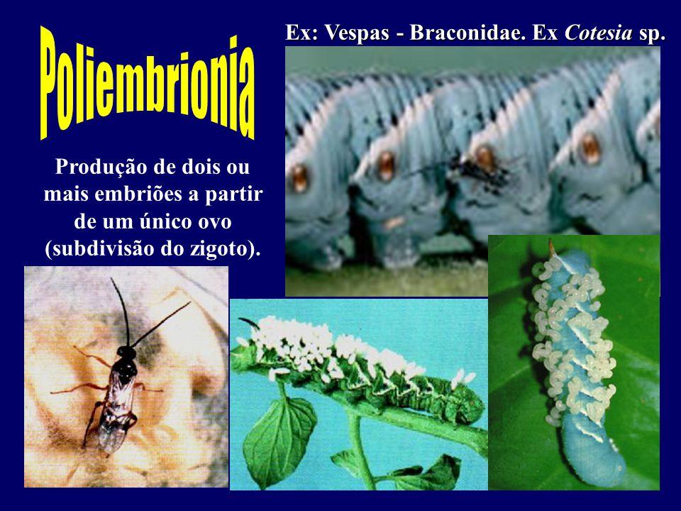 Poliembrionia Ex: Vespas - Braconidae. Ex Cotesia sp.
