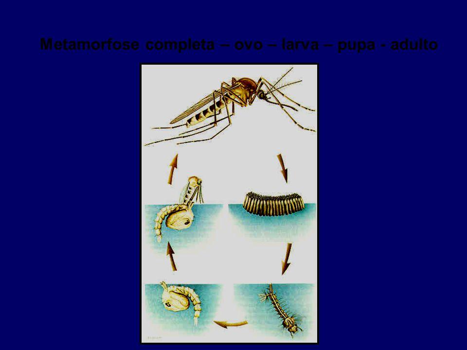 Metamorfose completa – ovo – larva – pupa - adulto