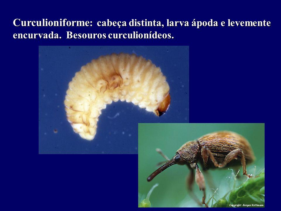 Curculioniforme: cabeça distinta, larva ápoda e levemente encurvada