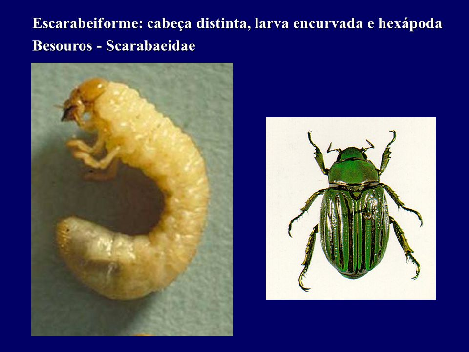 Escarabeiforme: cabeça distinta, larva encurvada e hexápoda