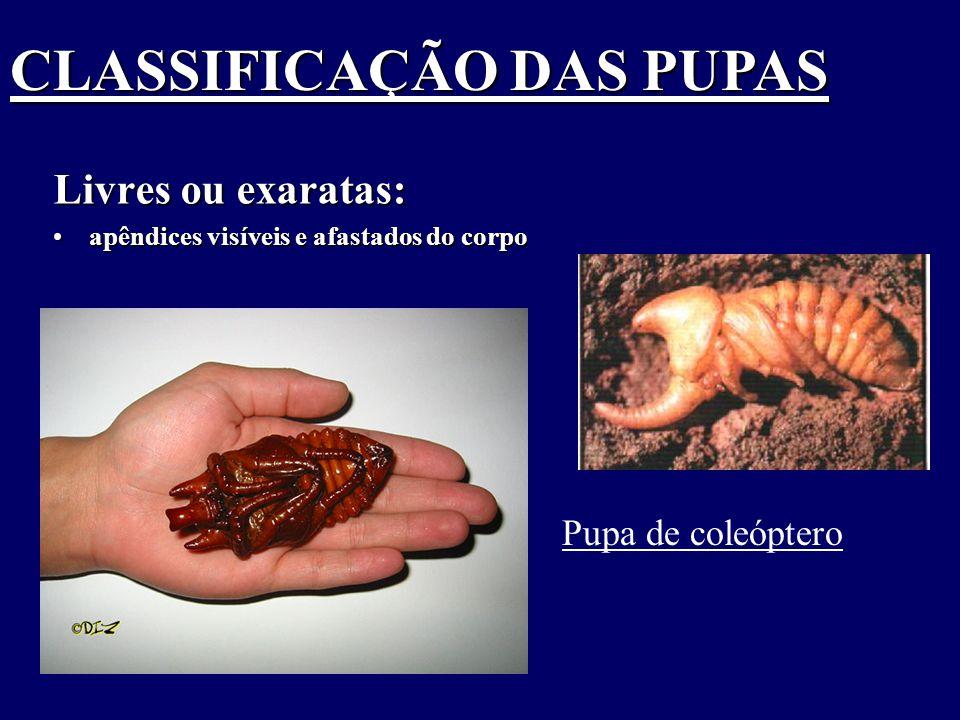 CLASSIFICAÇÃO DAS PUPAS