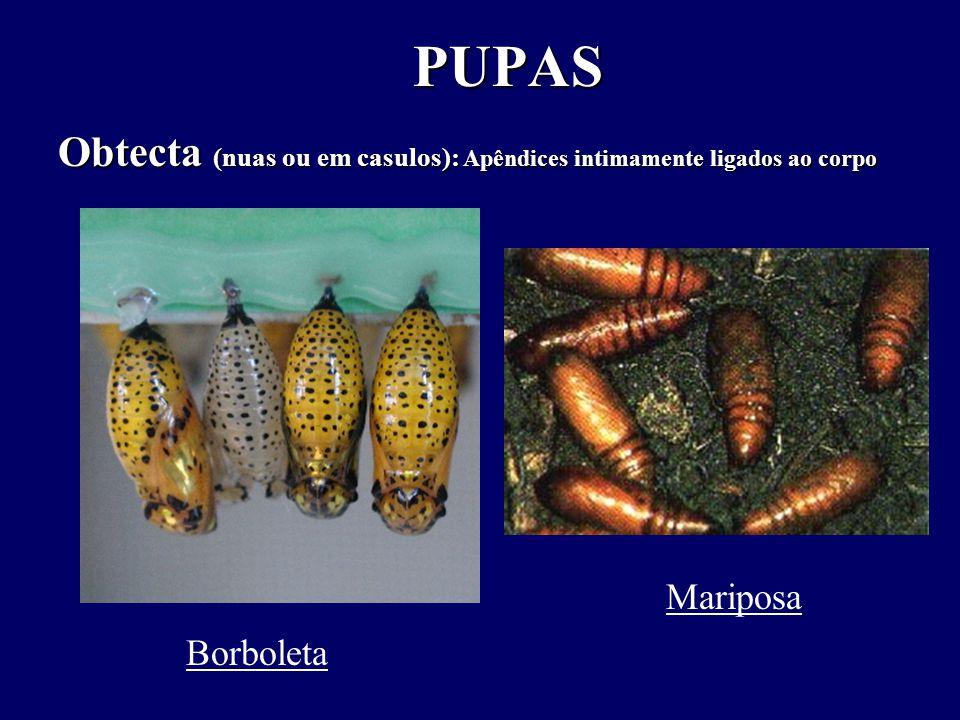 Obtecta (nuas ou em casulos): Apêndices intimamente ligados ao corpo