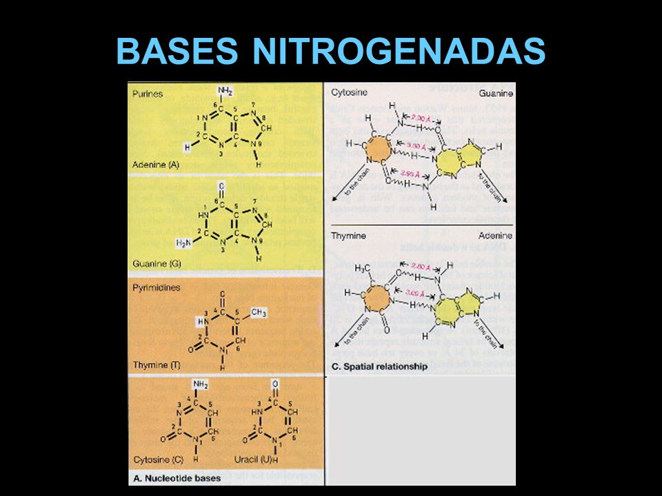 BASES NITROGENADAS
