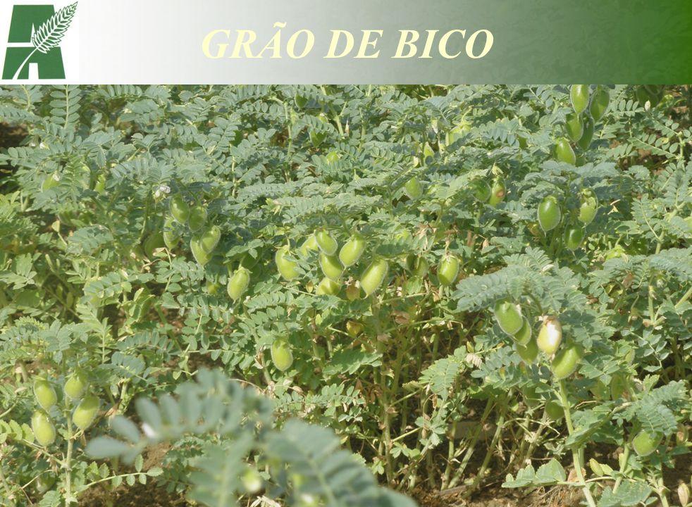 GRÃO DE BICO
