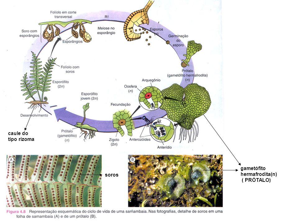 caule do tipo rizoma gametófito hermafrodita(n) ( PRÓTALO) soros