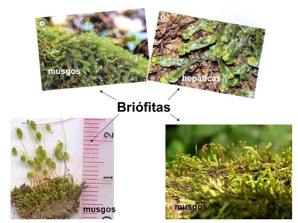 musgos hepáticas Briófitas musgos musgos