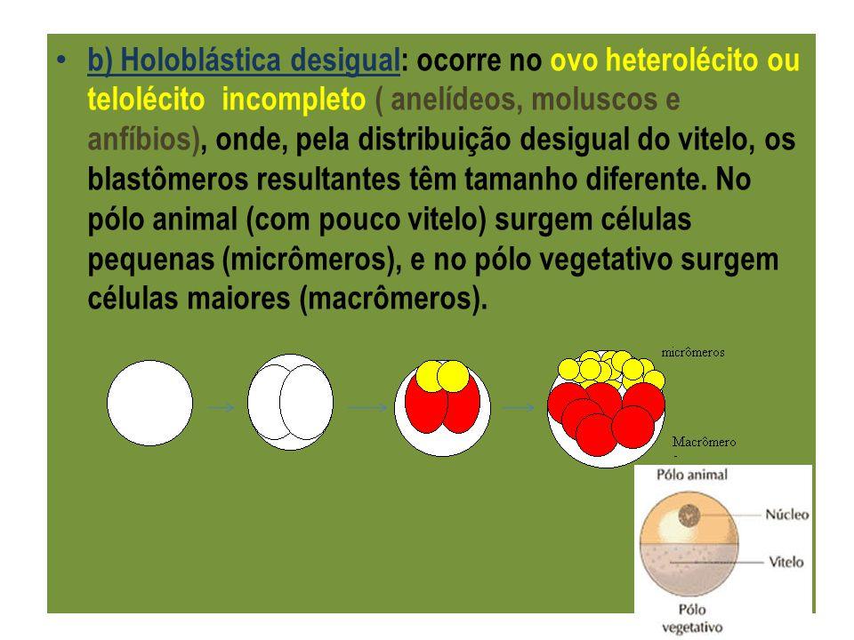 b) Holoblástica desigual: ocorre no ovo heterolécito ou telolécito incompleto ( anelídeos, moluscos e anfíbios), onde, pela distribuição desigual do vitelo, os blastômeros resultantes têm tamanho diferente.