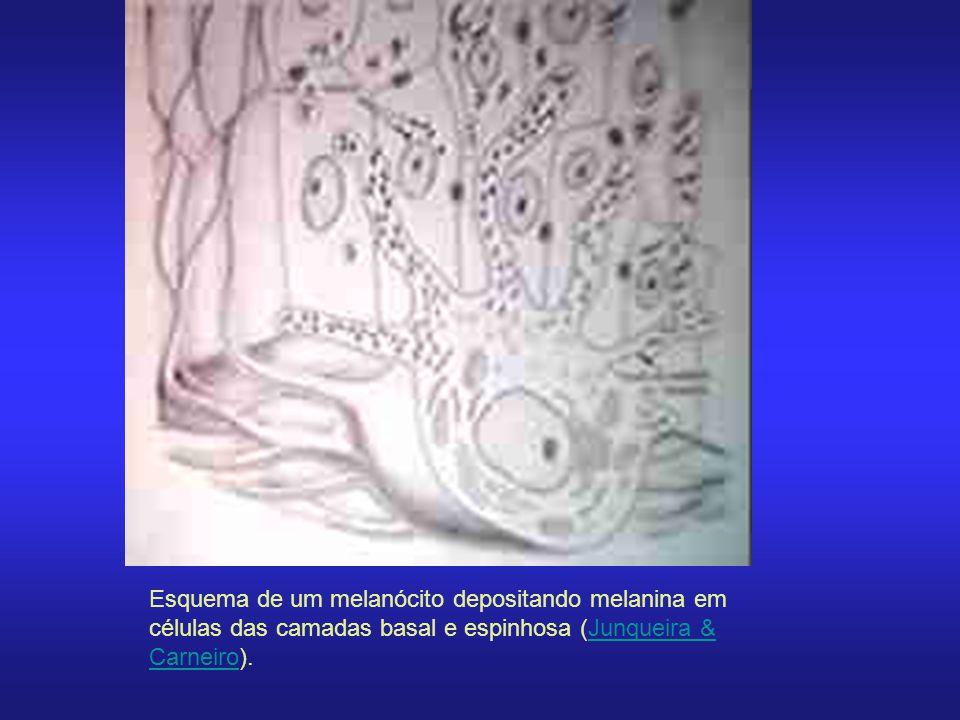 Esquema de um melanócito depositando melanina em células das camadas basal e espinhosa (Junqueira & Carneiro).