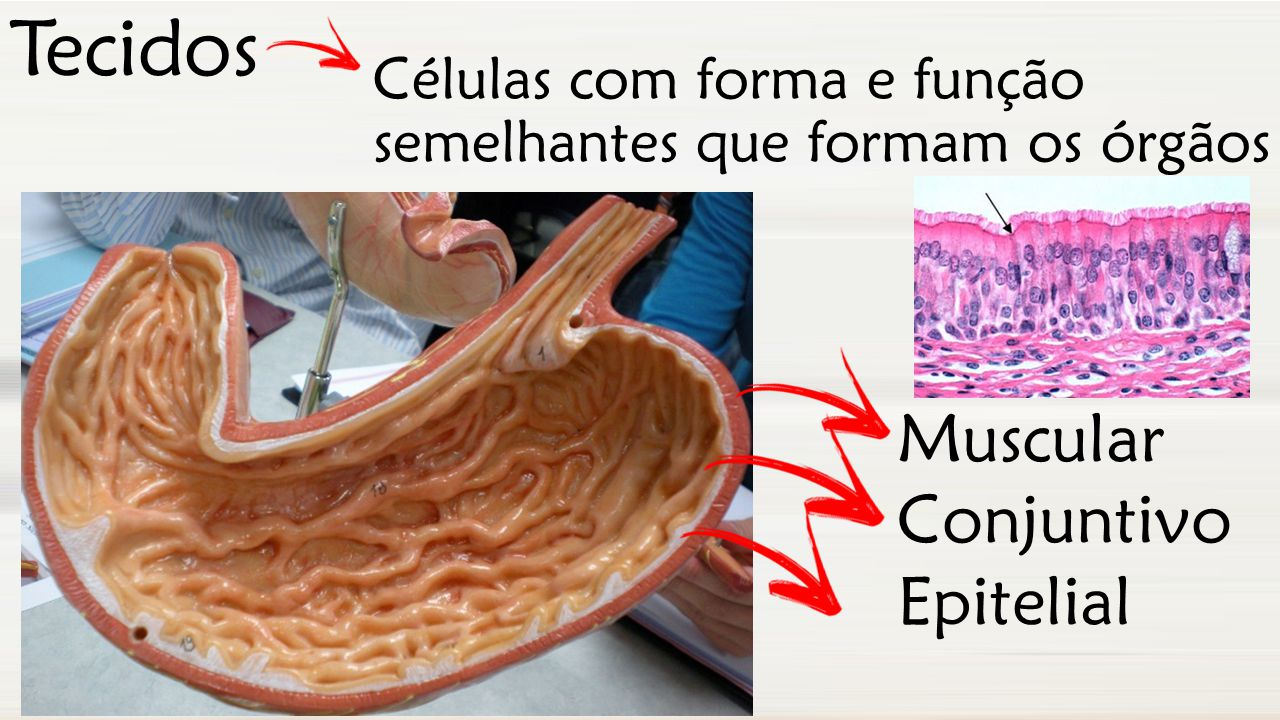 Tecidos Muscular Conjuntivo Epitelial