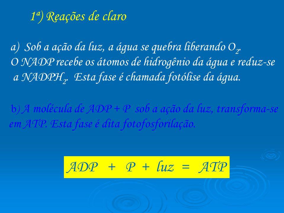 ADP + P + luz = ATP Sob a ação da luz, a água se quebra liberando O2.
