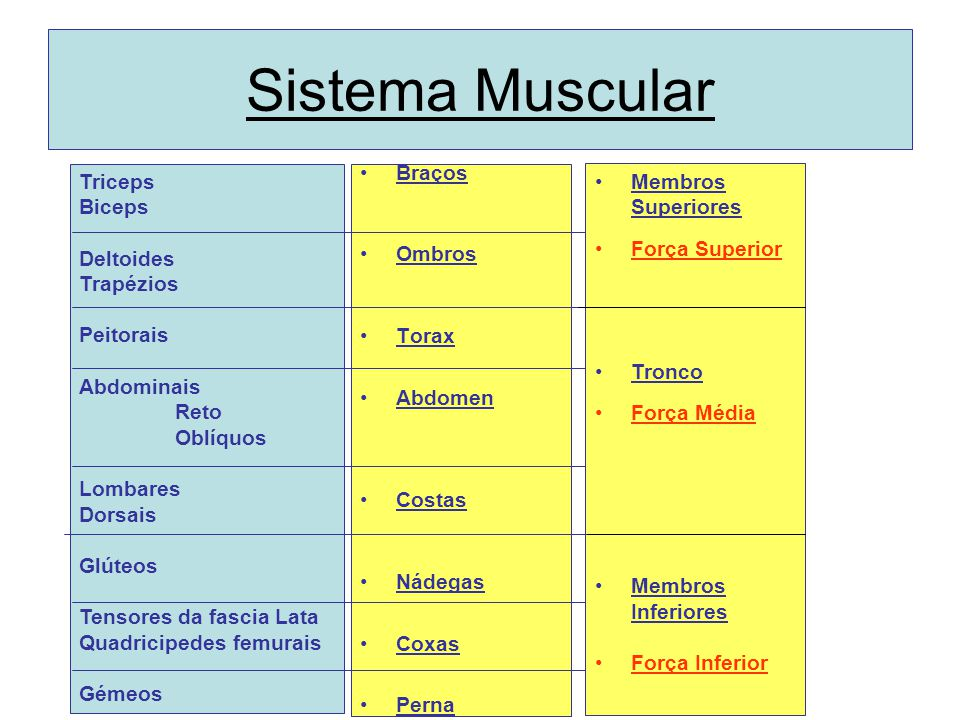 Sistema Muscular Triceps Biceps Deltoides Trapézios Peitorais