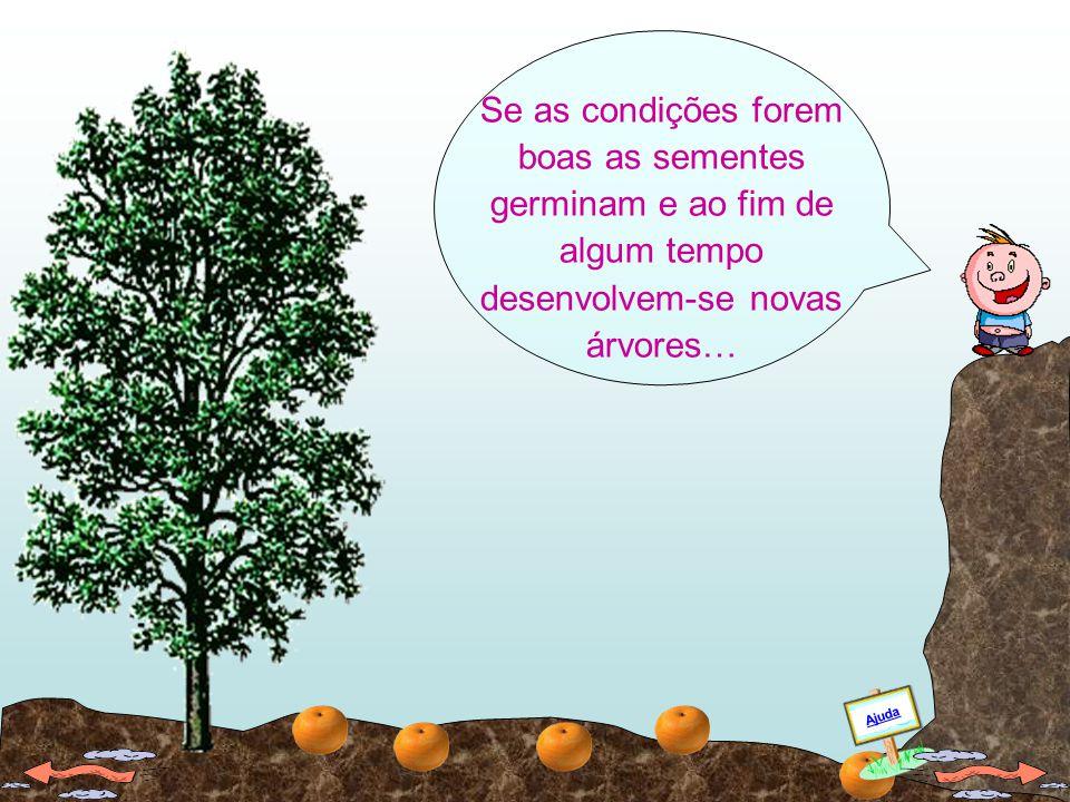 Se as condições forem boas as sementes germinam e ao fim de algum tempo desenvolvem-se novas árvores…
