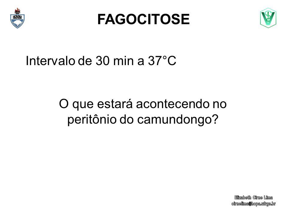 FAGOCITOSE Intervalo de 30 min a 37°C O que estará acontecendo no