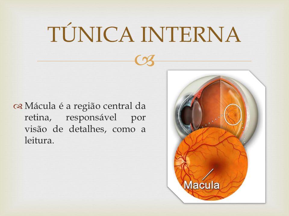 TÚNICA INTERNA Mácula é a região central da retina, responsável por visão de detalhes, como a leitura.